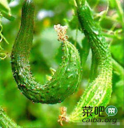 农民教你种黄瓜,方法简单一看就懂,你也能种出甜爽脆口的黄瓜