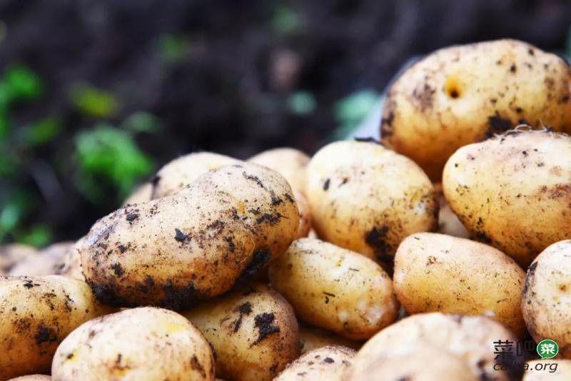 """土豆界的""""老祖宗"""",野了300年!来自世界硒都,够粉"""